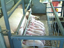 220px-Piglets_Nursing_in_a_Farrowing_Crate