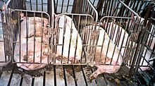 Gestation_crate_(Farm_Sanctuary)