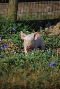 Pig in the clover 10-29-2015 1-01-16 PM